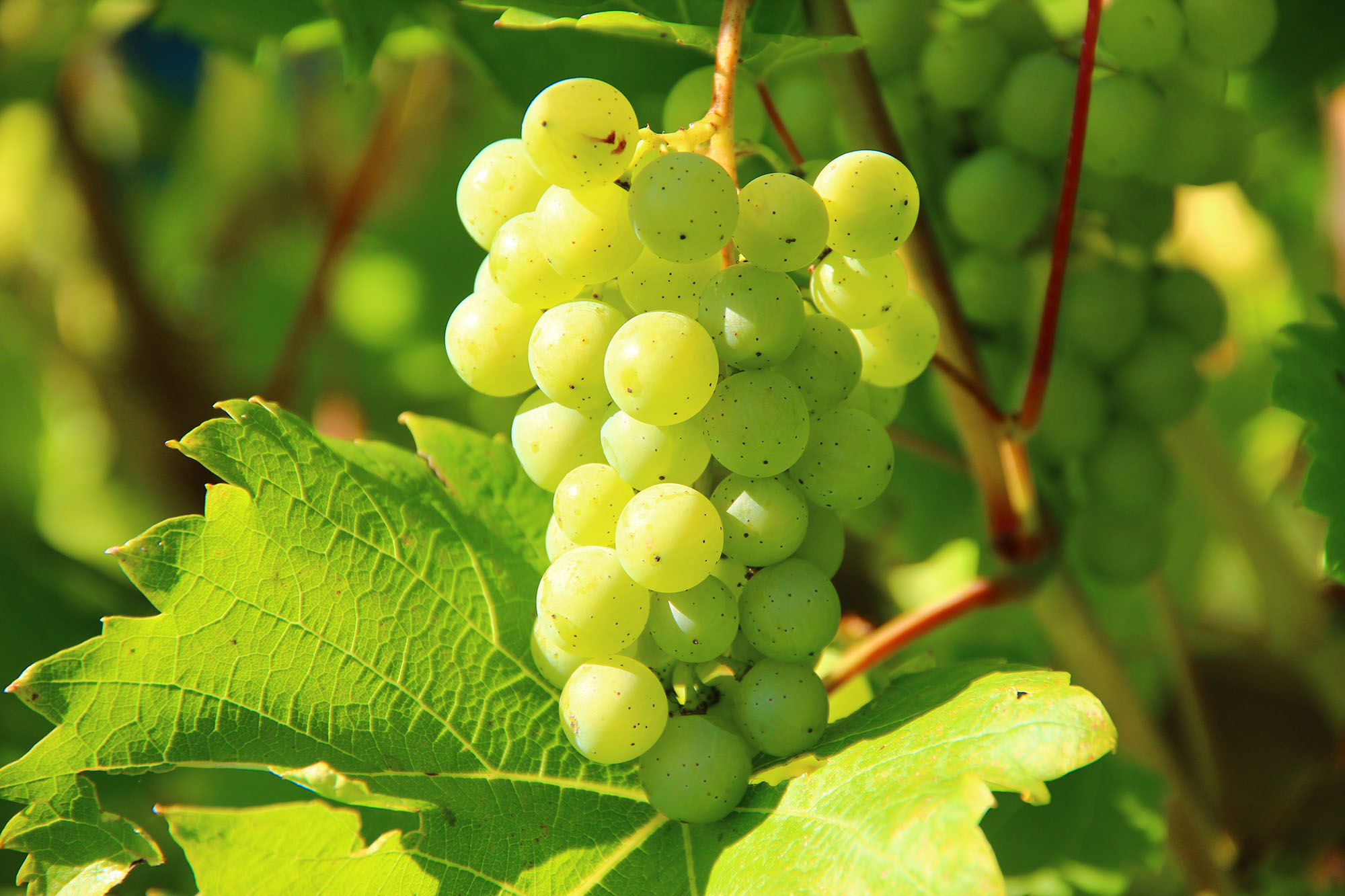 A bunch of white grapes on a vine
