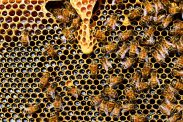 Bees busily making honey