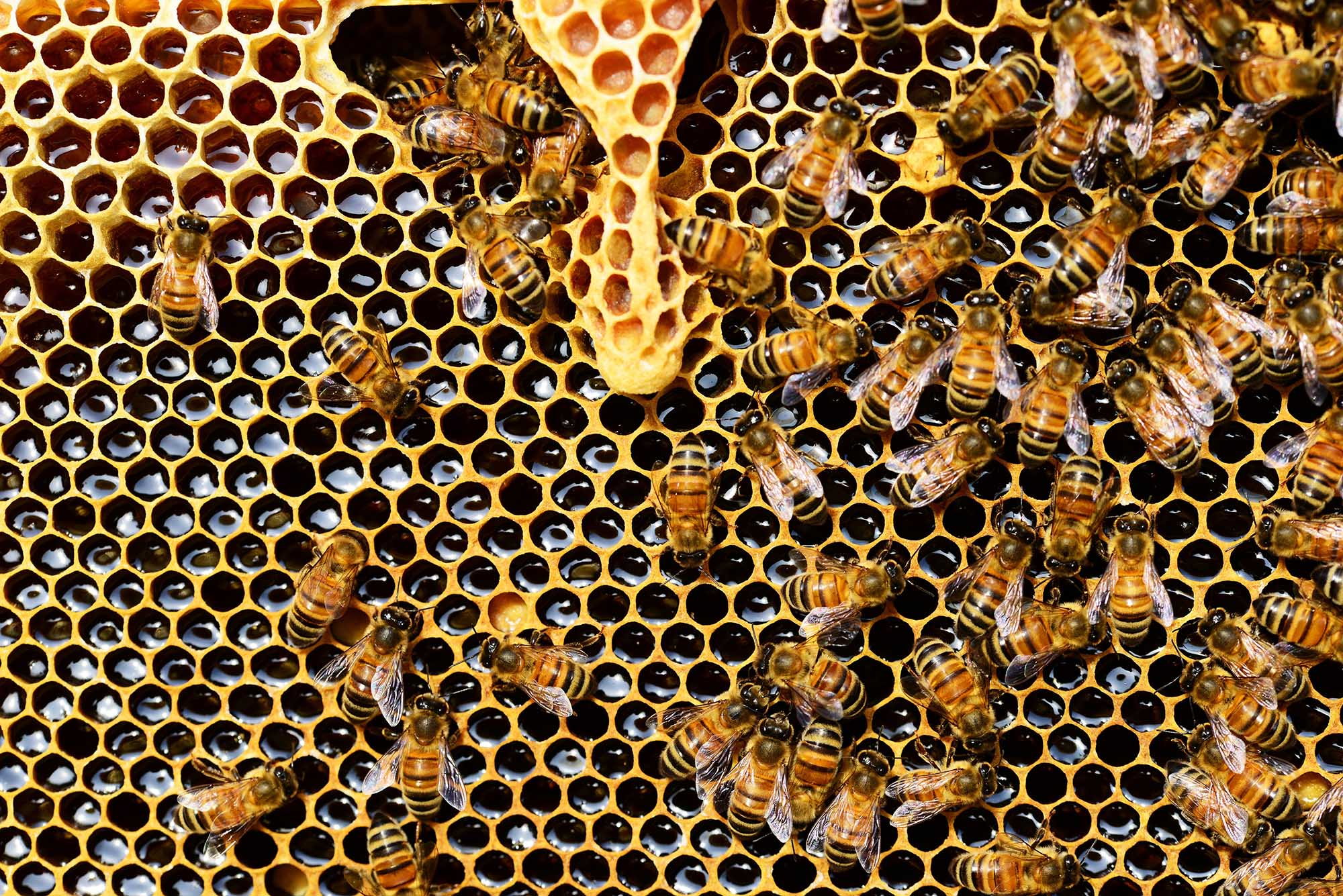 Bees making honey in honeycomb