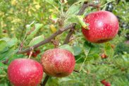Apples on the tree, almost ready for picking